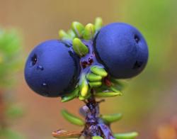 Krekling-bær