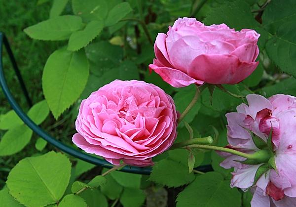 roser1