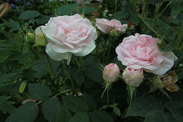roser2