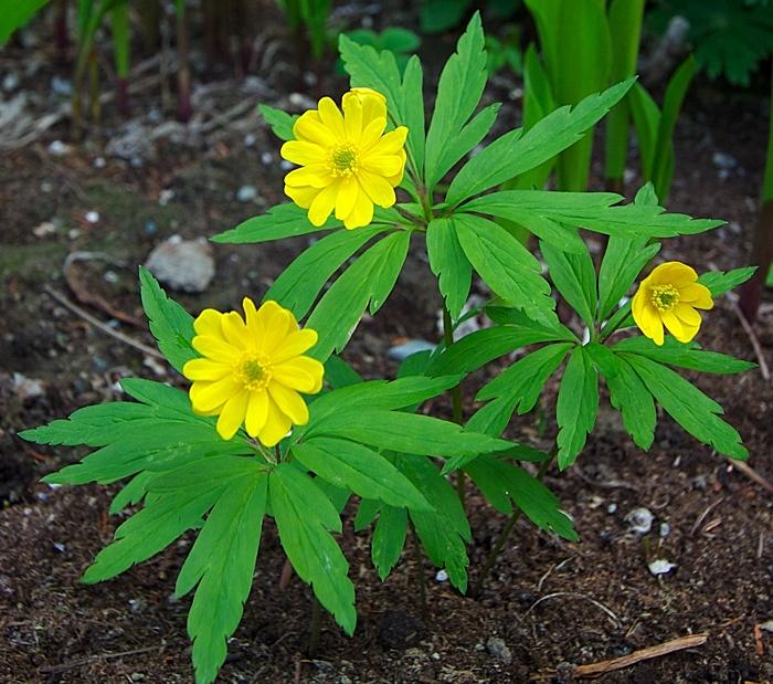 Gulveis Pleniflora